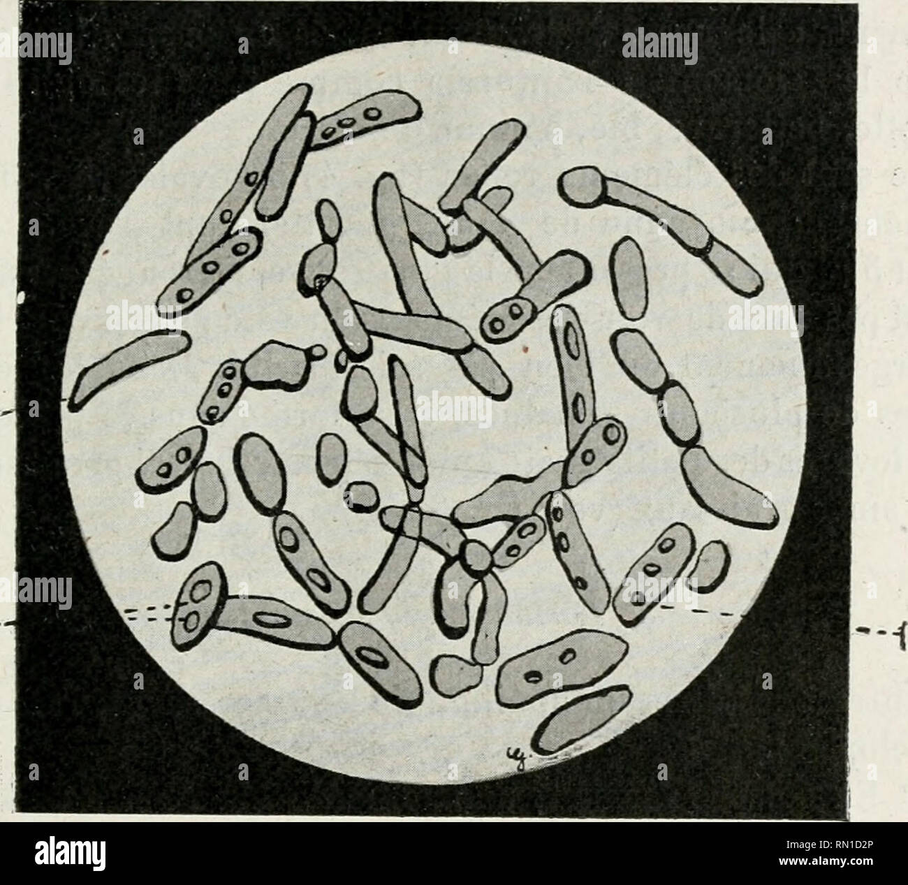 Oospora Stock Photos Oospora Stock Images Alamy