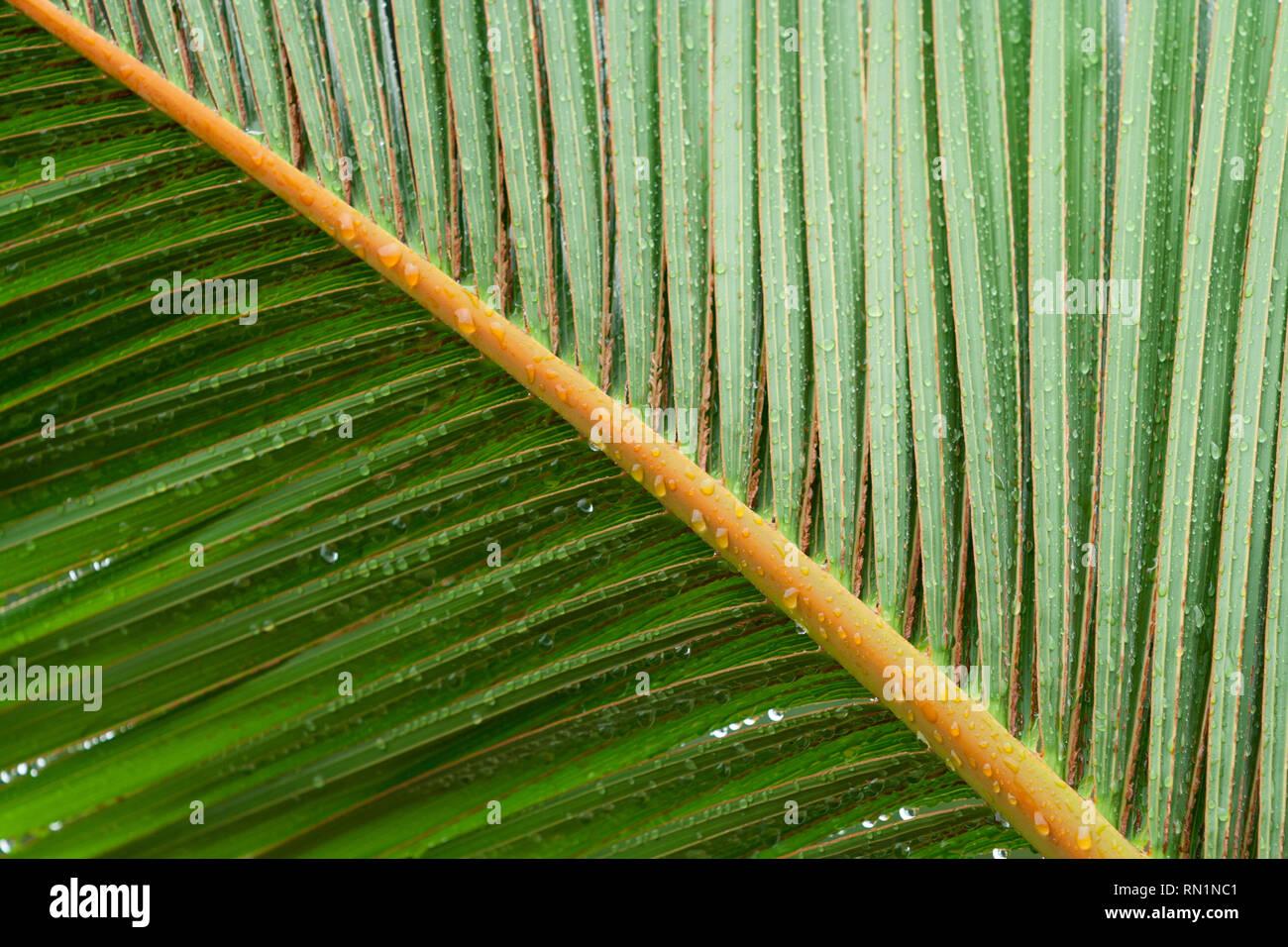 Dwarf palm tree (Hyophorbe vaughanii) green leaf, aka 'palma', bottle palm 'palmera botella', Mascarena, rainy day, Asuncion, Paraguay - Stock Image
