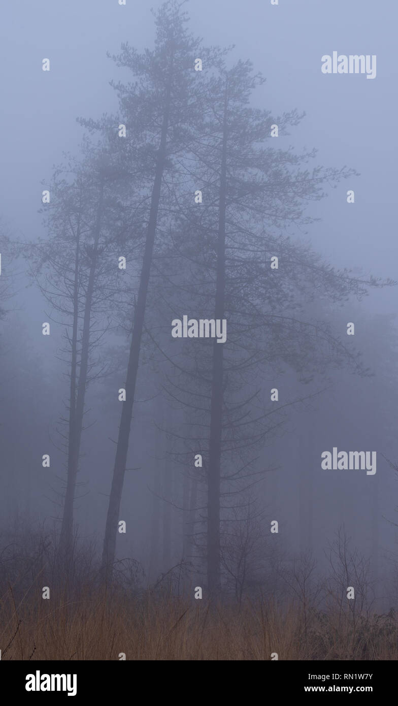 Trinity Hill, East Devon, UK. 16th February 2019. UK Weather:  Thick fog envelopes the woodland at East Devon beauty spot Trinity Hill. Tall trees loom eerily from the fog.  Credit: Celia McMahon/Alamy Live News - Stock Image