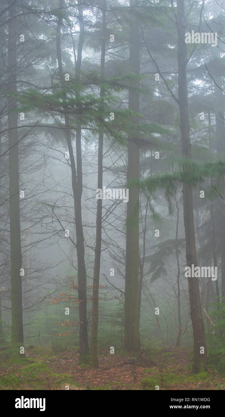 Trinity Hill, East Devon, UK. 16th February 2019. UK Weather:  Thick fog envelopes the woodland at East Devon beauty spot, Trinity Hill. Tall trees loom eerily from the fog.  Credit: Celia McMahon/Alamy Live News - Stock Image