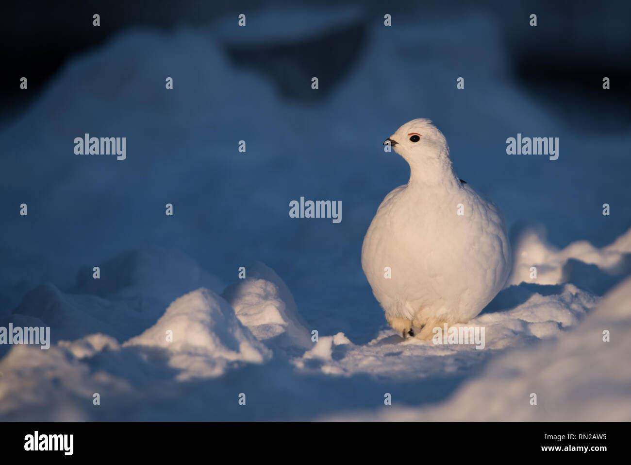 A Willow Ptarmigan catches the the low setting arctic sun as it walks through the snow in Yellowknife, Northwest Territories, Canada. - Stock Image
