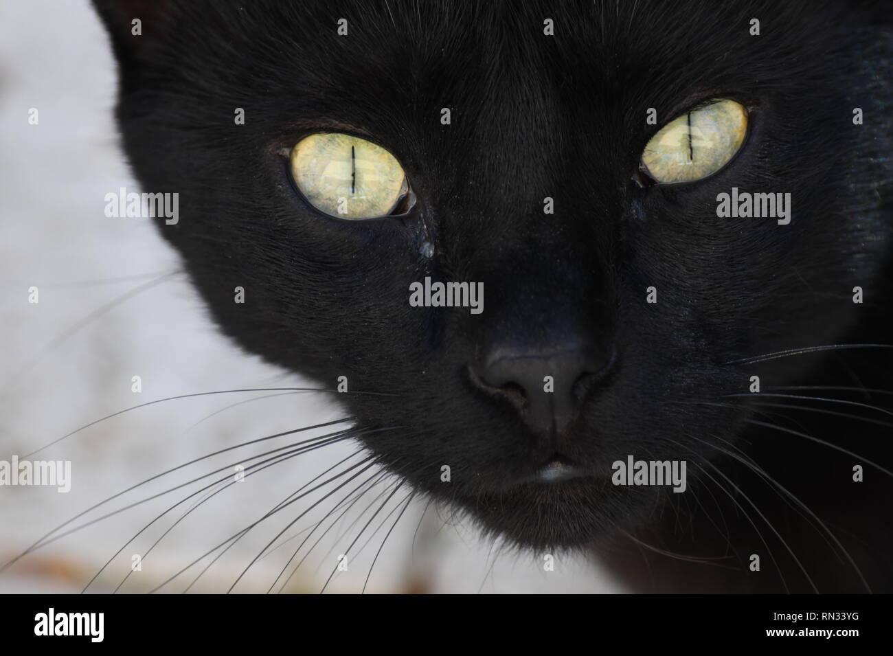 mysterious black cat seeking proximity - Stock Image