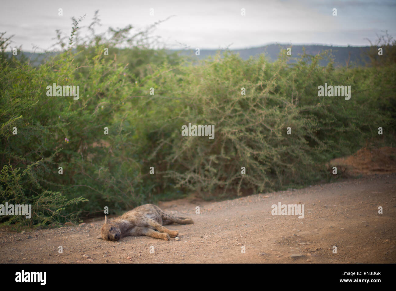 A spotted hyena naps on a gravel road in Madikwe Game Reserve, North West Province, South Africa. - Stock Image