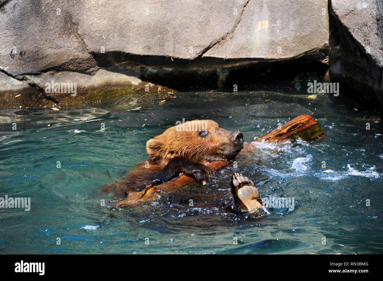 Grizzly Bear Clings To Log That He Is Playing With Both Are