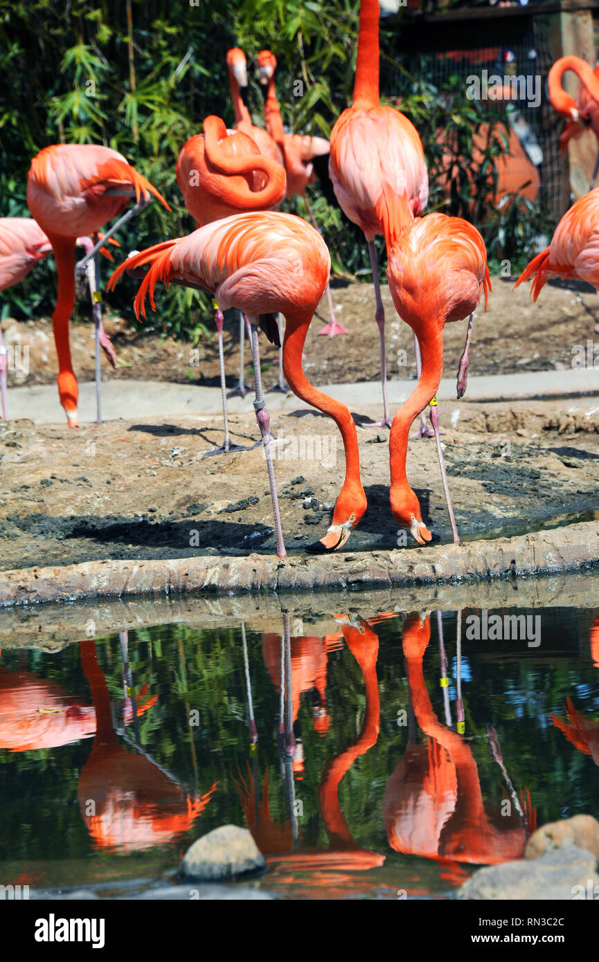 Two flamingos stand besides pool.  Both have their heads down and are reflected in a pool inside their enclosure. - Stock Image