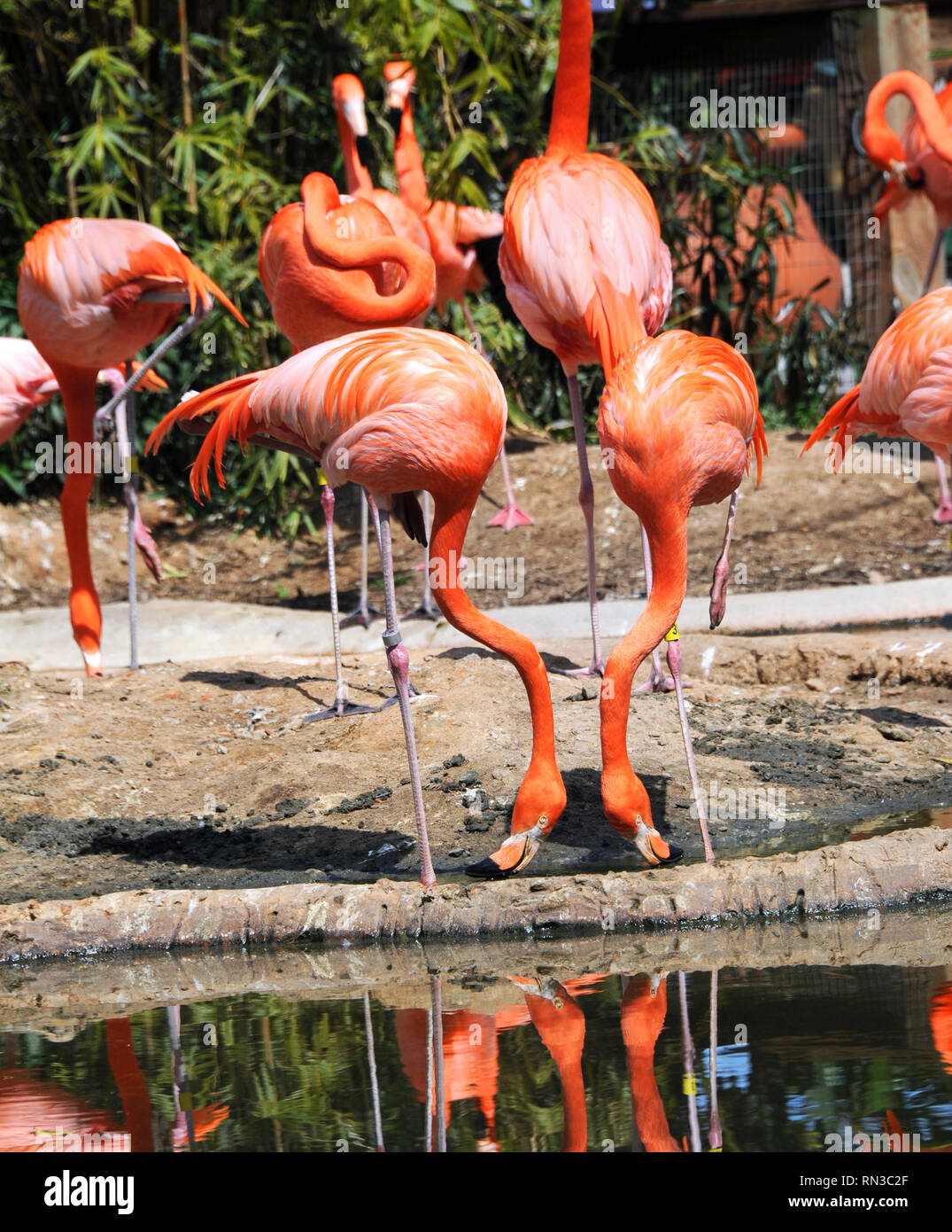 Two flamingo imitate each other.  Both have heads down and necks bent at the exact same angle.  Reflection in pool duplicated duo. - Stock Image