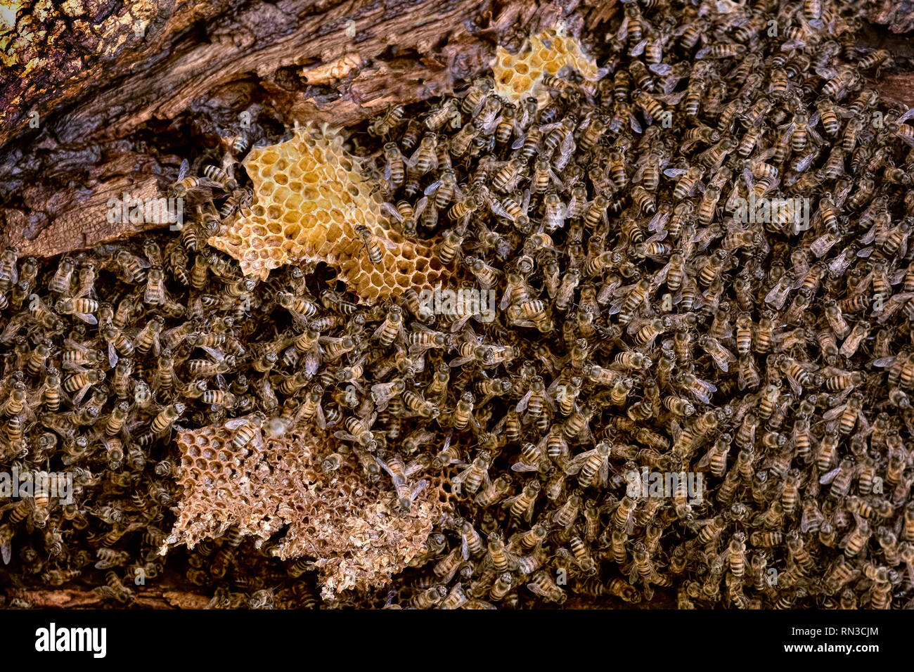 Bees in Wild on tree with honeycomb - Stock Image