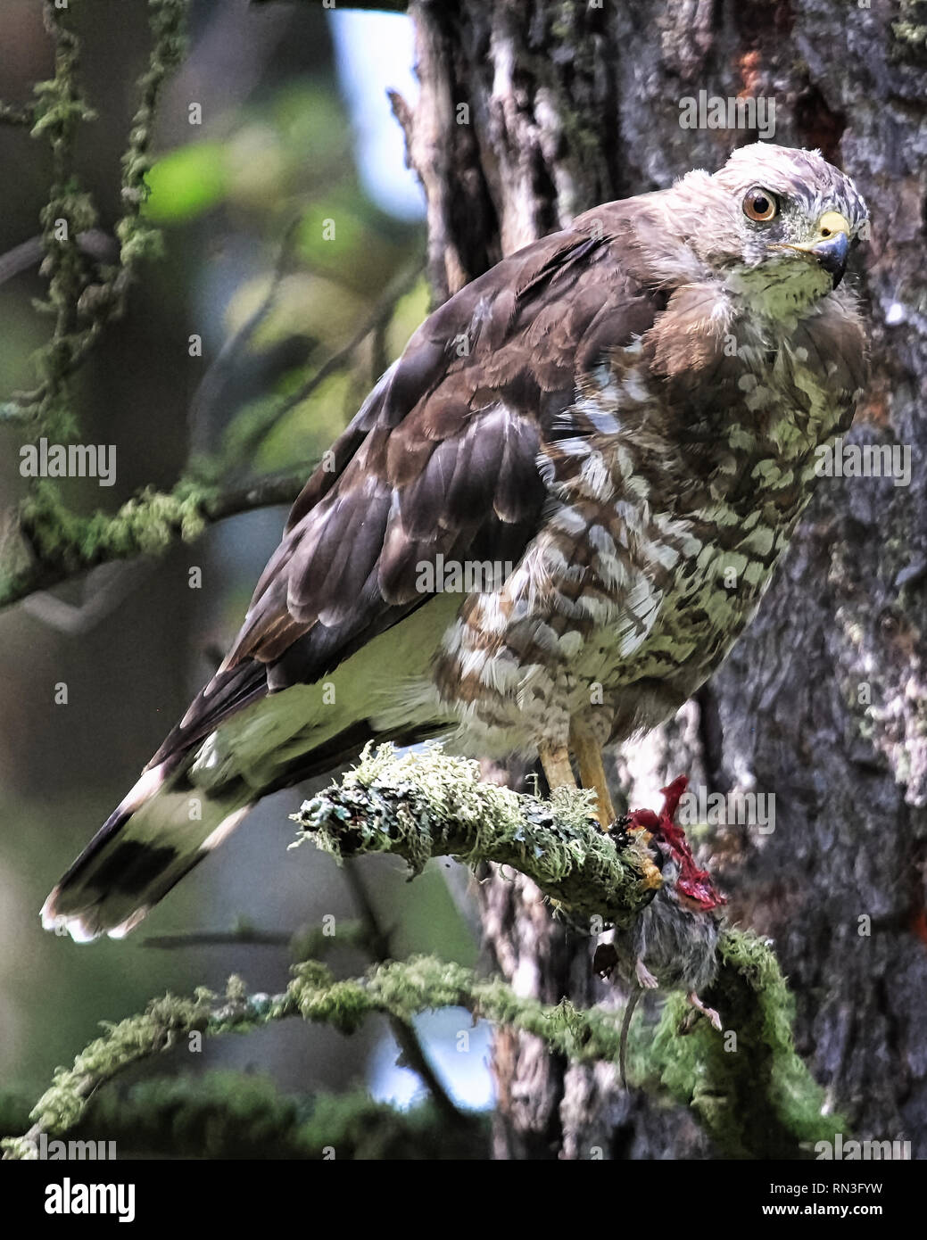 A broad-winged Hawk sits on a branch with a mouse in its talons - Stock Image