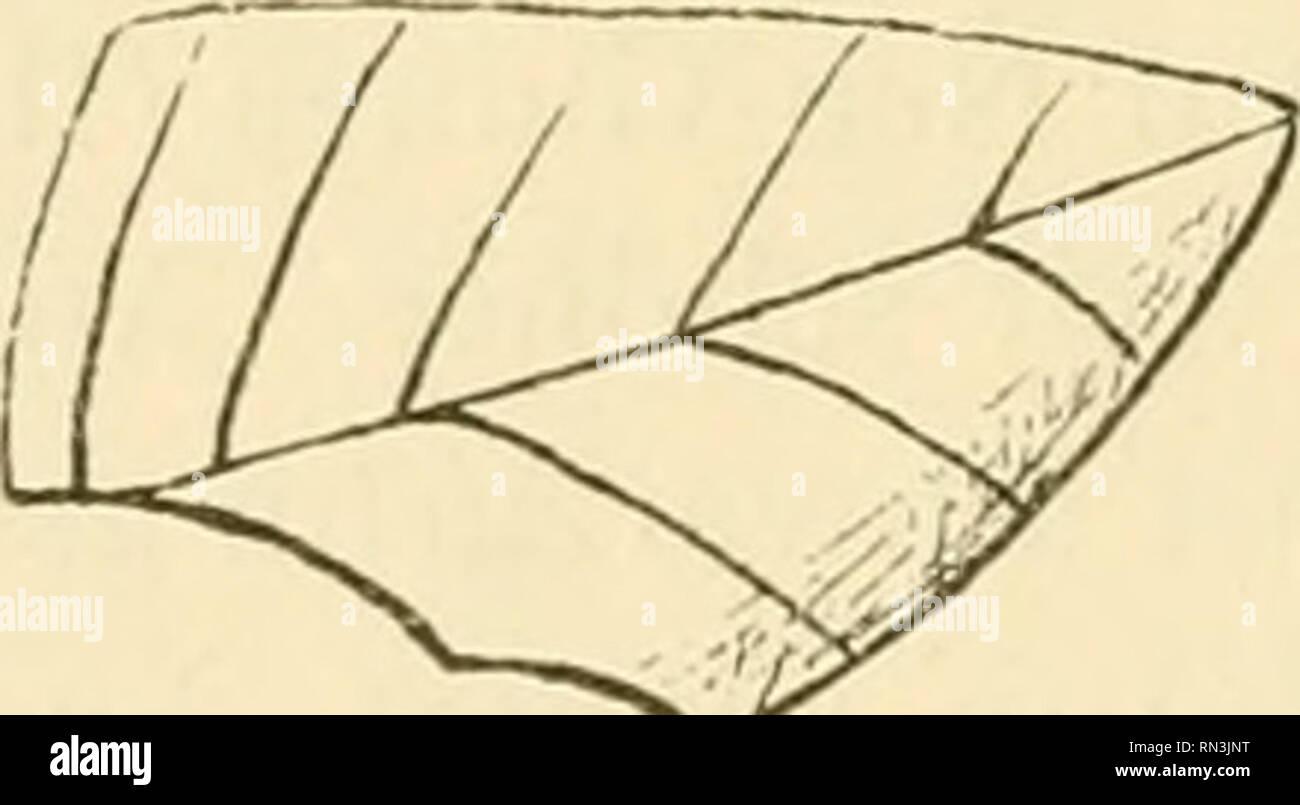 . Annalen des Naturhistorischen Museums in Wien. Naturhistorisches Museum (Austria); Natural history. 74 Dr. O. Finsch, [342] Kopfbedeckung ist häufiger als sonst. Auf den südlichen Inseln (Tapiteuea) tragen Männer dreieckige Kappen oder Mützen aus feinem Flechtwerk von Pandamis-Blait, die auch auf Apaiang vorkommen und hier »Tebara« heissen. Häufig ist hier dagegen: Teboani (Nr. 267, i Stück), Mütze, dreispitzig, aus Cocospalmblatt roh gefloch- ten. Tarowa. Solche kunstlose, im Gebrauchsfalle schnell gefertigte Mützen (abgebildet bei Wilkes, V, S. 46, von Tapiteuea) werden besonders von Fisch Stock Photo