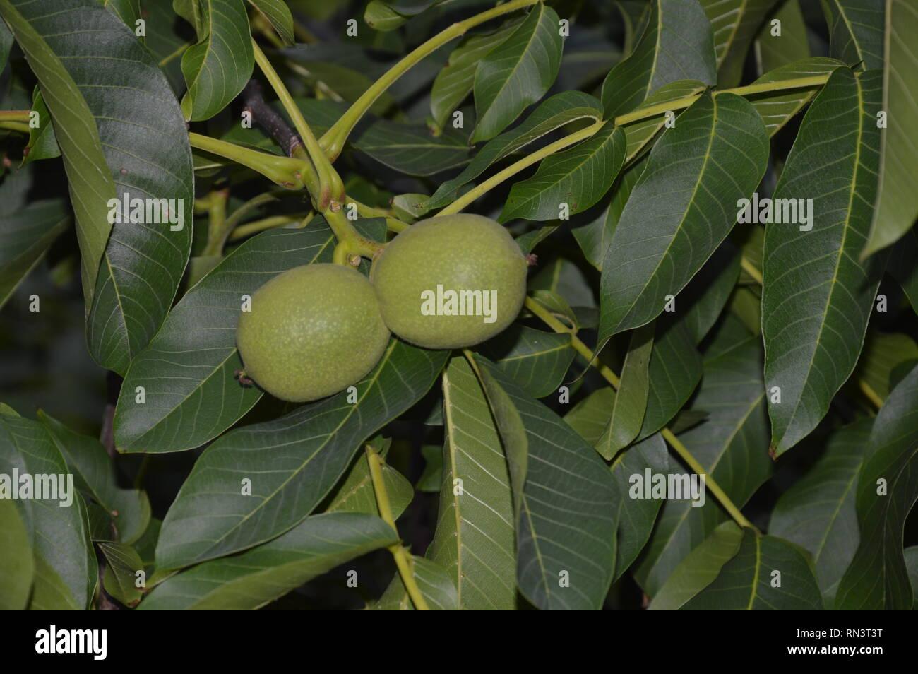 2 riping fruits of the walnut tree Stock Photo