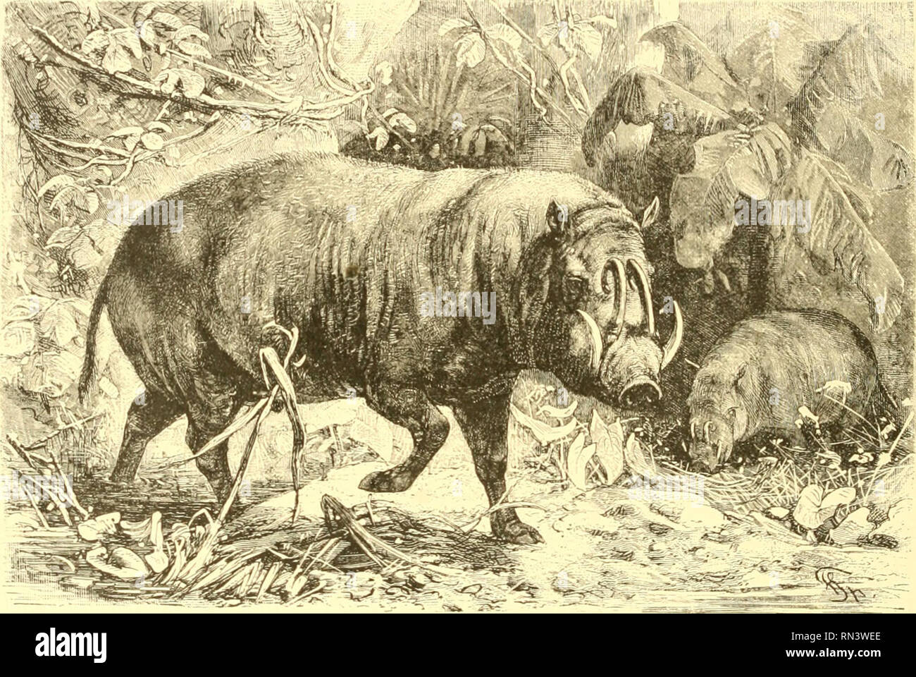 ". Animate creation : popular edition of ""Our living world"" : a natural history. Zoology; Zoology. 61: THE BOSCH YANK. A naval officer who had experienced several encounters with this creature, spoke of it with great respect, and seemed to hold its warlike abilities in some awe. The adult male Baby- roussa is considerably larger than the boar of England, and the officer above mentioned told me that he had seen them ""as large as donkeys. It is a very good swimmer, and will take to the water for its own gratification, swimming considerable distances without any apparent effort. The Stock Photo"