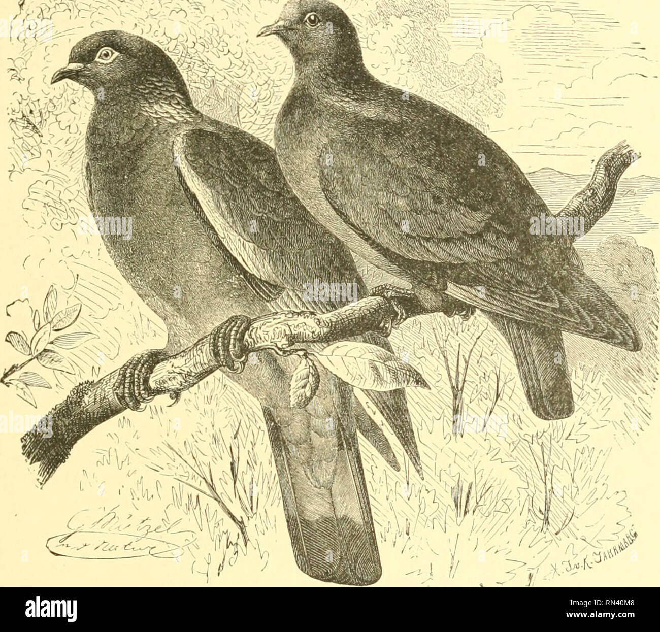""". Animate creation : popular edition of """"Our living world"""" : a natural history. Zoology; Zoology. THE RING-DOVE. 443 nest, and fastening it to the branch. The young birds are thereby prevented from escaping, and are sure to be at hand when wanted. Even when adult the Ring-Dove is a favorite article of food, and is shot by hundreds when they flock together in the cold weather. They also exhibit a decided partiality for certain roosting-i^laces, and can be shot by waiting under the trees to which they have taken a liking. The food of this Dove consists of grain and seeds of various kin - Stock Image"""