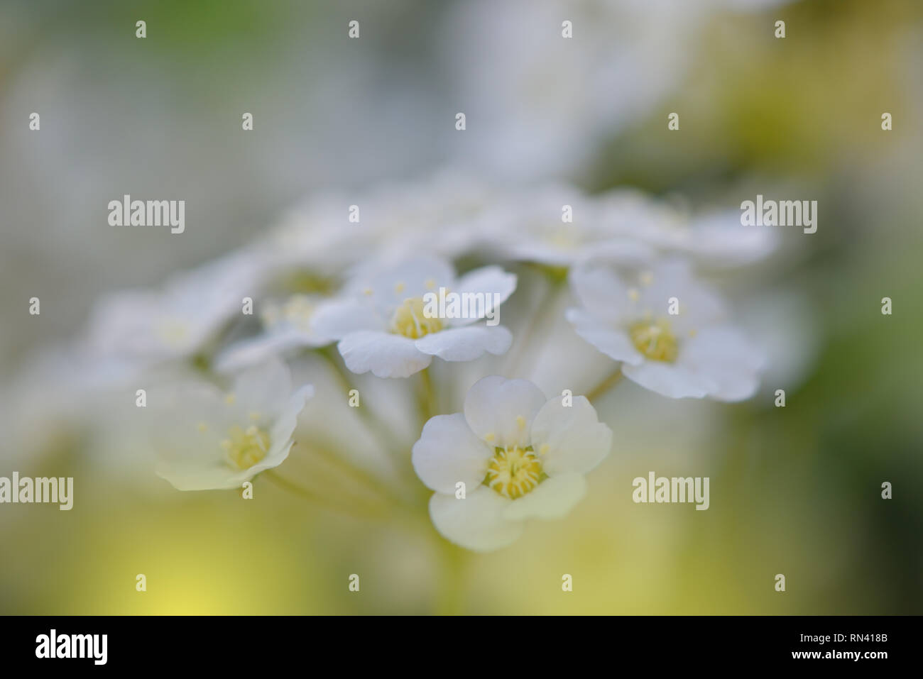 White Spring Flowers On Old Vintage Background Beautiful