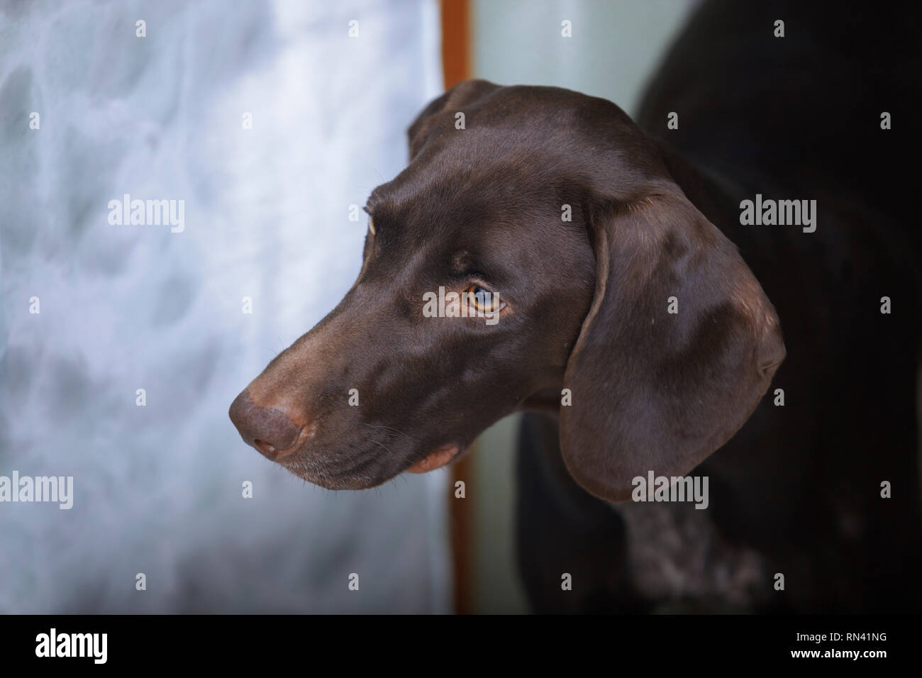 German Shorthaired Pointer - Stock Image