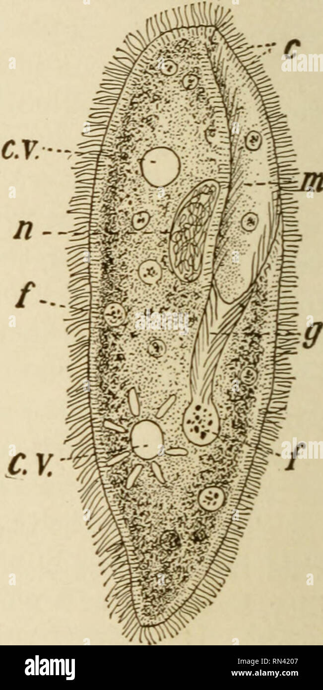 . Animal studies. Fig. 8. — Flagellate Infusoria. A, Euglena viridis ; c, pulsating vacuole ; e, eye-spot; g, gullet; n, nucleus ; t, flagellum. B, Co- dosiga, with collar surrounding the flagellum. C, diagram illus- trating the action of the flagel- lum. All figures greatly enlarged.. Fig. 9. — Parametrium aurelia, a ciliate infusorian. c, cilia; c.v., pulsating vacuoles ; /, food particles ; g, gullet; m, buccal groove; n, nucleus. toplasm of the body, there to undergo the processes of di- gestion and assimilation. In some forms the protoplasm in the region of the flagellum is drawn out in t Stock Photo