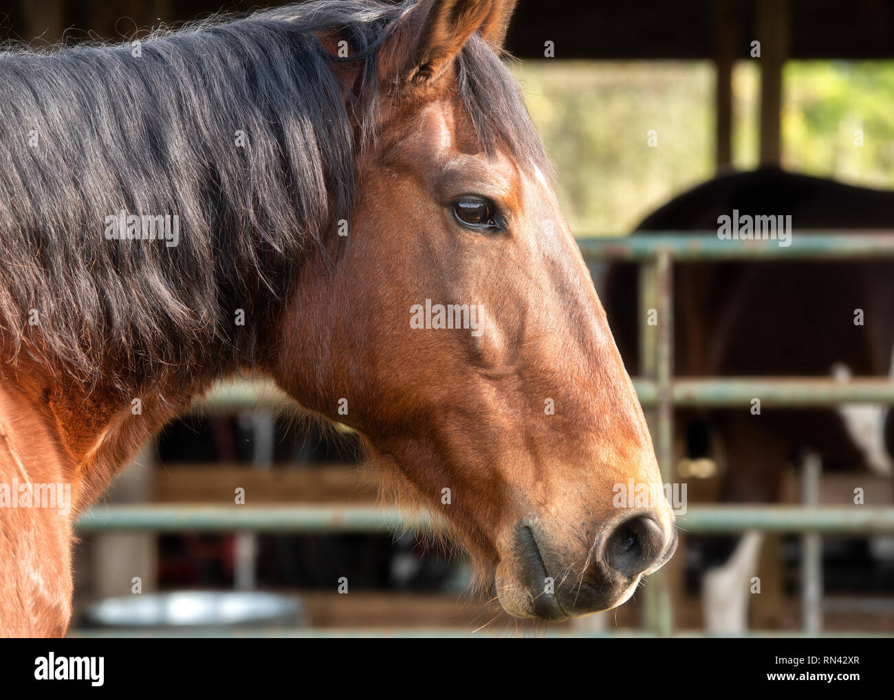Bay horse head portrait.  Right side of horse head.  Black main, brown head. - Stock Image