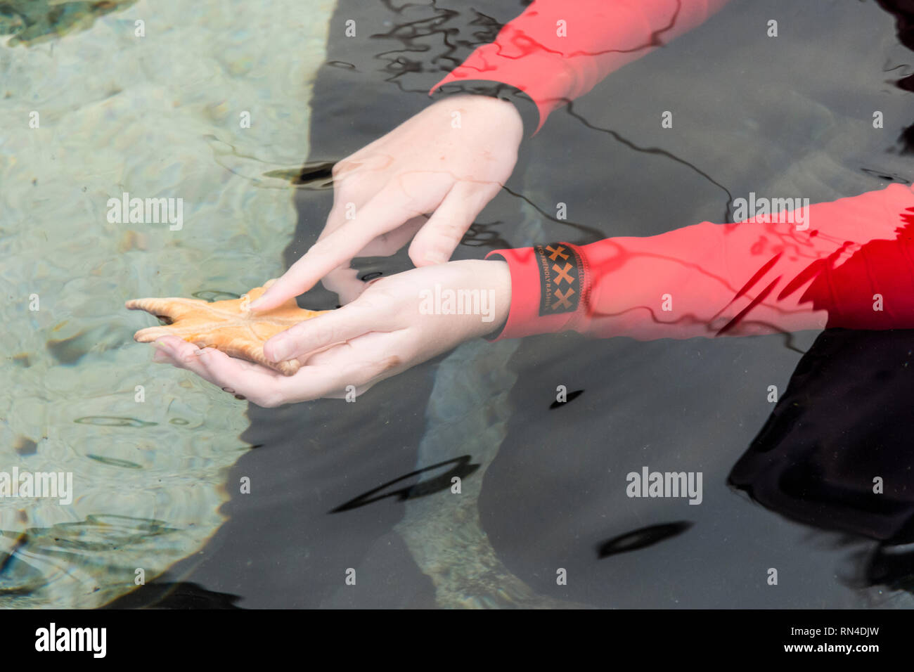 AQWA staff member shows the underneath of a starfish in the touch pool at The Aquarium Of Western Australia, Hillarys Boat Harbour, Western Australia - Stock Image