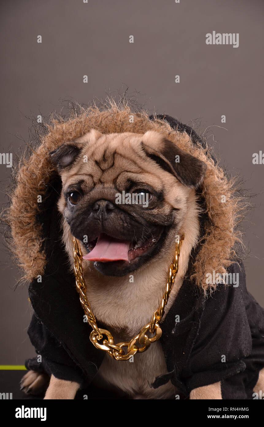 Pug dog wearing black jacket with fur hood and big golden necklace, gangster look, portrait, studio shot - Stock Image