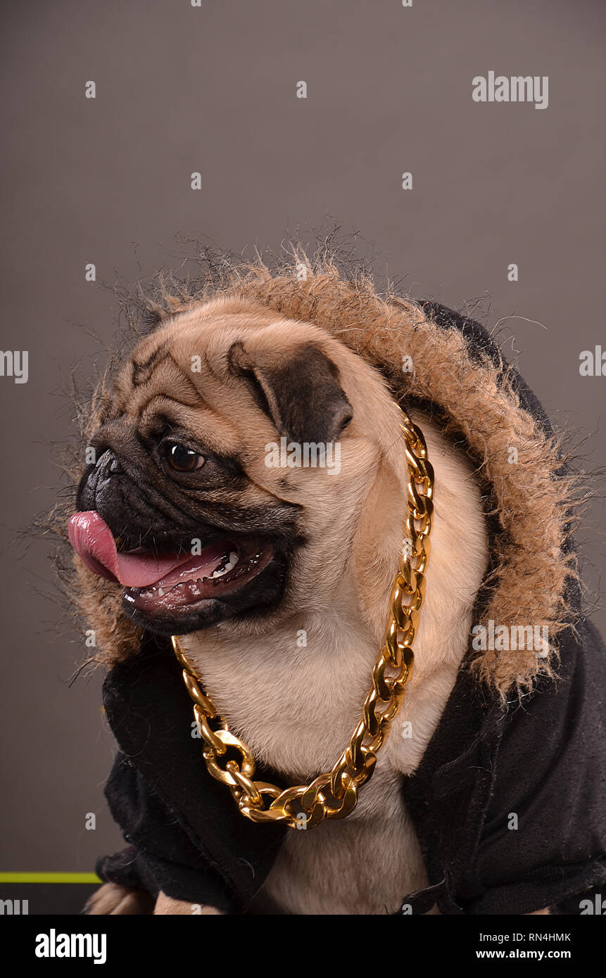 Pug dog wearing black jacket with fur hood and big golden necklace, gangster look, profile, studio shot - Stock Image