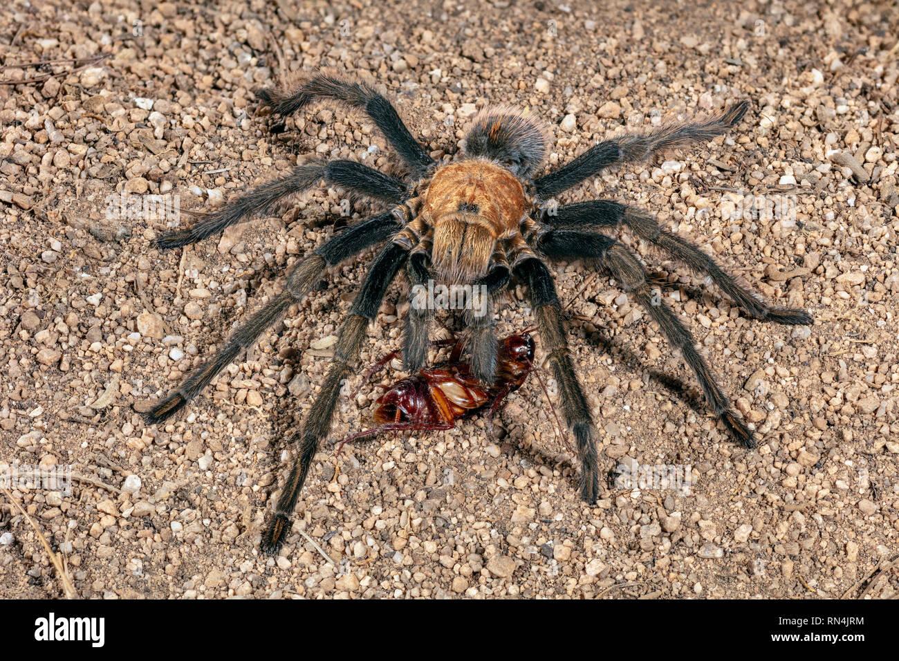 Aphonopelma Chalcodes Or The Western Desert Tarantula Arizona Blond Tarantula Or Mexican Blond Tarantula About 5 Across Stock Photo Alamy
