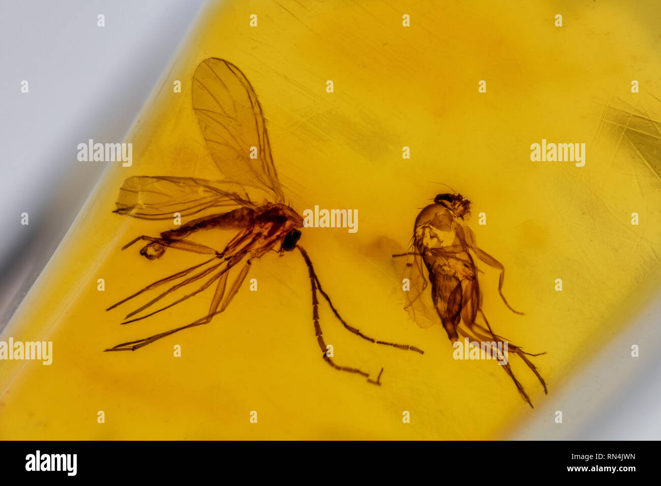 Fungus Gnat (and fly) in Amber - Mycetophilidae, Colombia, Pleistocene - Stock Image