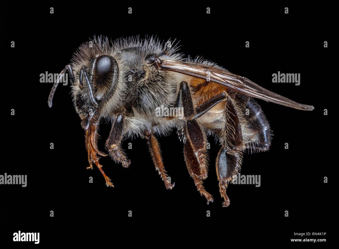 Honey Bee Close Up, Apis Sp. - Stock Image
