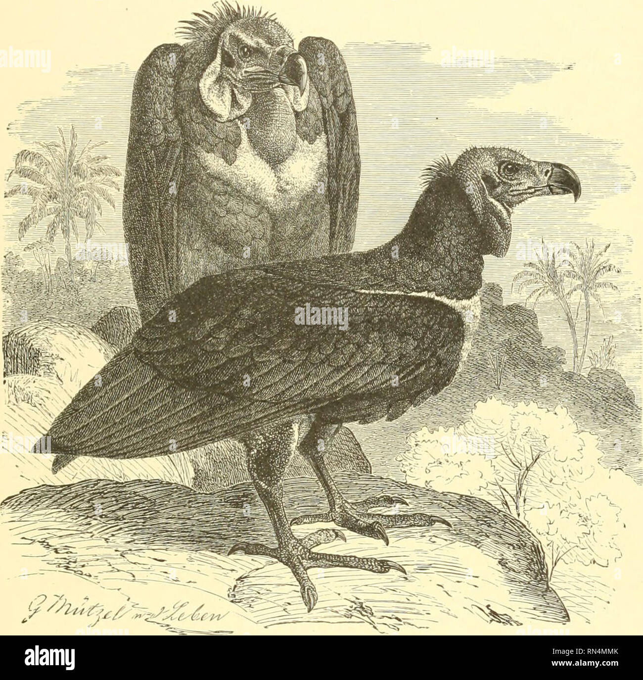 """. Animate creation : popular edition of """"Our living world"""" : a natural history. Zoology; Zoology. THE PONDIGHERRF VULTURE. 23 not by any feeling of community, but by the attraction of a dead animal on which they are glad to feed, whether in company or alone. The Sociable Vulture is a handsome and a large bird. Its length is about four feet, and the measurement of its expanded wings is rather more than ten feet. The general color of its feathers is black-brown, from which circumstance it is called by the colonists the Black Car- rion Bird. The ruff is nearly black, and the feathers of - Stock Image"""