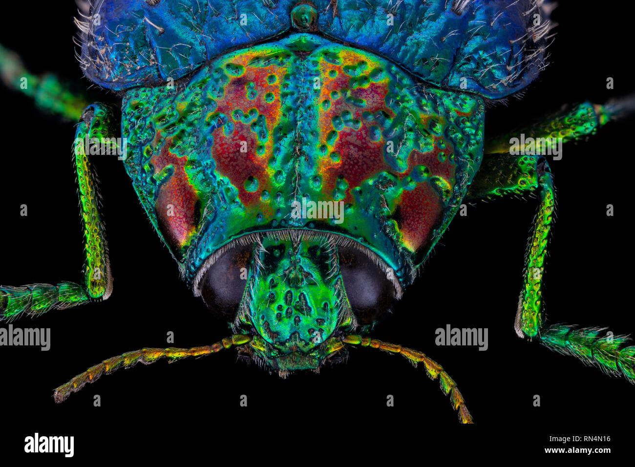 Metallic Wood Boring Beetle - Stock Image