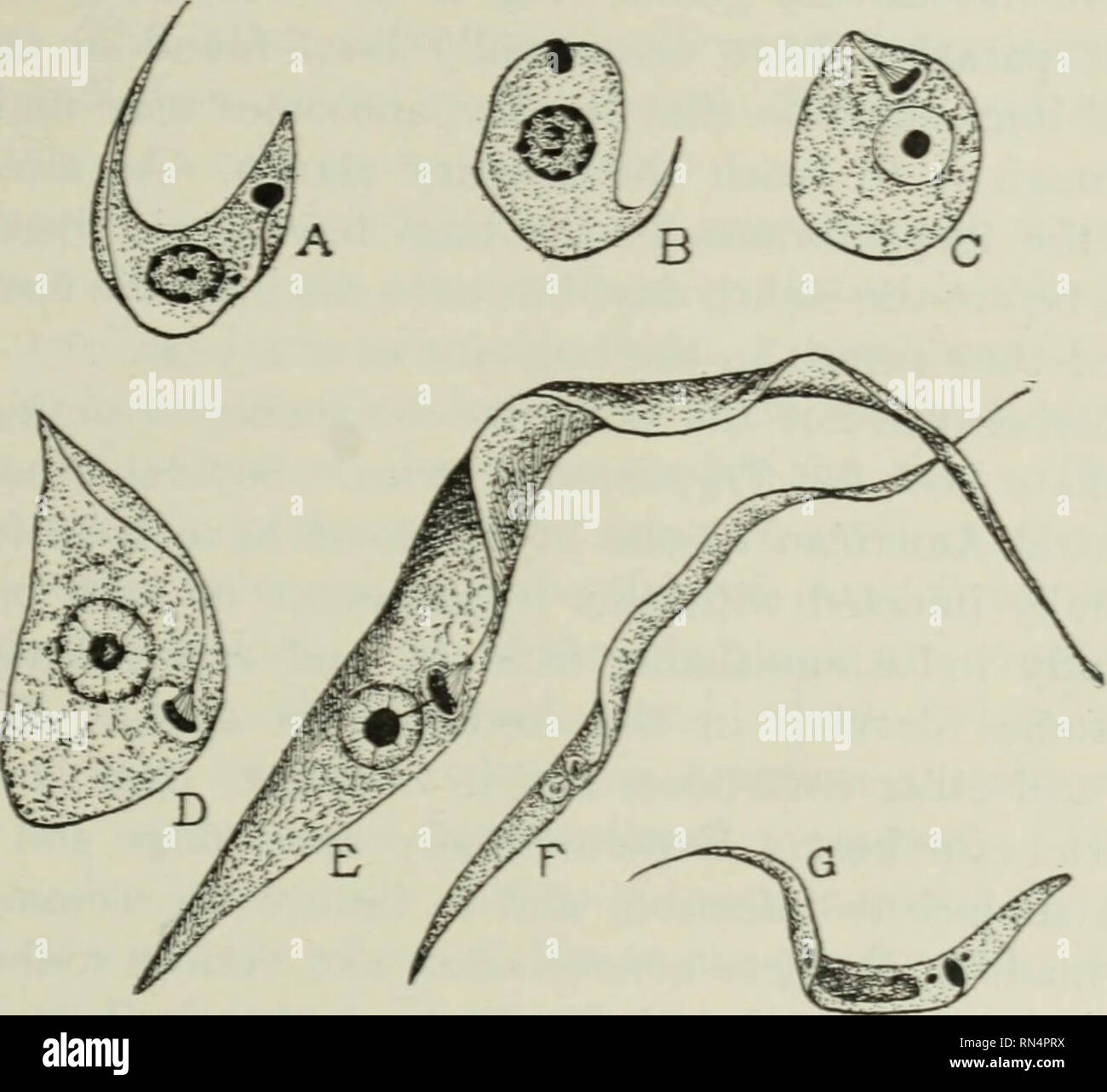. Animal parasites and human disease. Parasites; Medical parasitology; Insects as carriers of disease. CHAGAS' DISEASE — PARASITE IN BUG 111 transmitting agent of the trypanosonie. A few hours after a bug has fed on infected blood the trypanosomes begin to change form in the midgut, becoming round and Leishmania-like in form, losing the flagellum and undulating membrane (Fig. 28A, B and C.) Then comes a period of very rapid increase in number, the parasites gradually pushing backward toward the hindgut by sheer multiplication. After about two days Crithidia forms begin to develop and become nu - Stock Image
