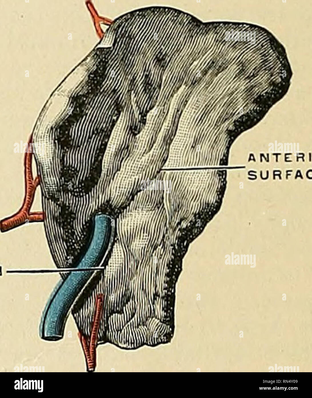 anatomy, descriptive and applied  anatomy  1448 the ductless glands whole  surface, is situated above and internally