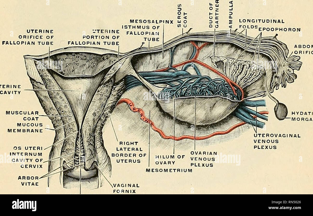 . Anatomy, descriptive and applied. Anatomy. Fig. 1180.—The parovarium. The mesoaalpinx is partly removed. (Poirier and Charpy.) these structures, and from the side of the womb the broad ligament passes. The division between the body and the cervix is indicated externally by the isthmus and by the reflection of the peritoneum from the anterior surface of the uterus on tp the bladder, and internally by a narrowing of the canal called the internal OS (Fig. 1181). The neck or cervix uteri (Figs. 1178 and 1181) is the lower constricted segment of the uterus; around its circumference is attached th - Stock Image