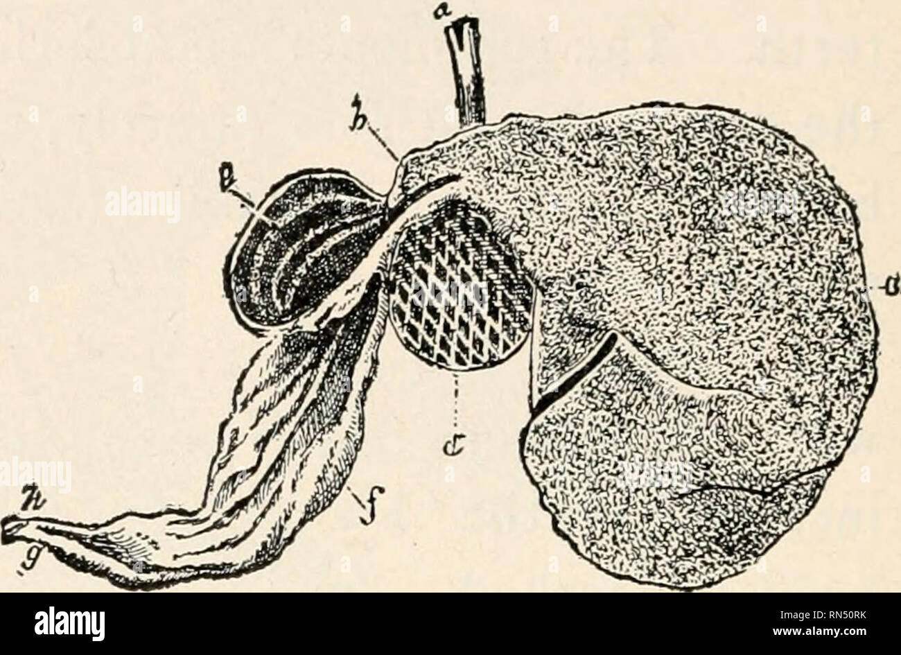 https://www alamy com/animal-biology-human-biology-parts-ii-amp-iii-of-first-course-in-biology-biology-fig-387-food-traced-through-stomachs-of-cow-follow-arrows-fig-388-section-of-cows-stomachs-identify-each-see-text-it-passes-into-the-intestine-why-is-the-paunch-the-largest-compartment-in-the-figure-do-you-recognize-the-paunch-by-its-size-the-honeycomb-by-its-lining-why-is-it-round-the-last-two-of-the-four-divisions-may-be-known-by-their-direct-connection-with-the-intestine-the-true-gastric-juice-is-secreted-only-in-the-fourth-stomach-since-the-cud-or-unchewed-food-is-belched-up-image236752983 html
