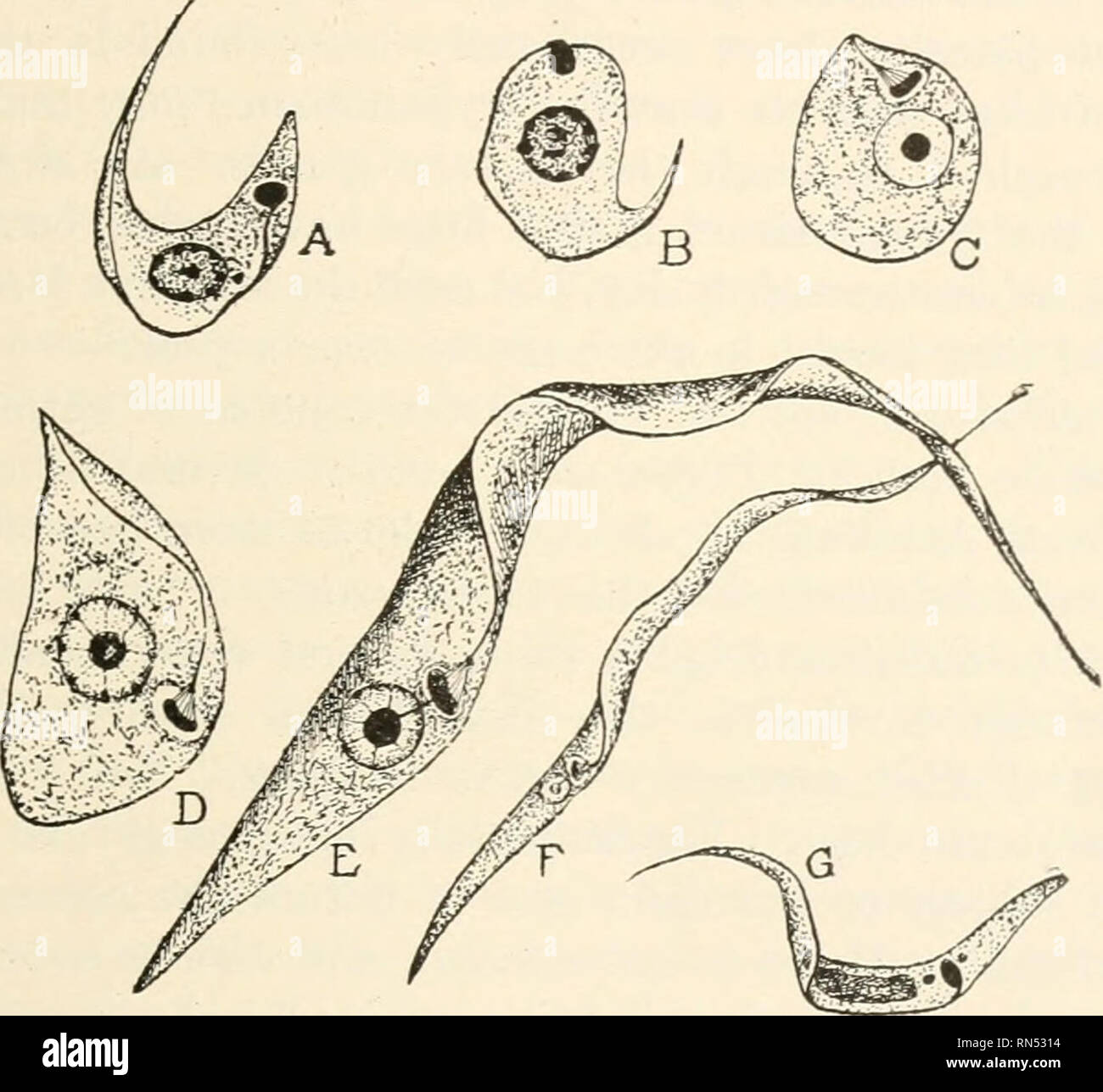 . Animal parasites and human disease. Insects as carriers of disease; Medical parasitology. CHAGAS' DISEASE — PARASITE IN BUG 111 transmitting agent of the trypanosome. A few liours after a bug has fed on infected blood the trypanosomes begin to change form in the midgut, becoming round and Leishma7iia-like in form, losing the flagellum and undulating membrane (Fig. 28A, B and C.) Then comes a period of very rapid increase in number, the parasites gradually pushing backward toward the hindgut by sheer multiplication. After about two days Crithidia forms begin to develop and become numerous in  - Stock Image