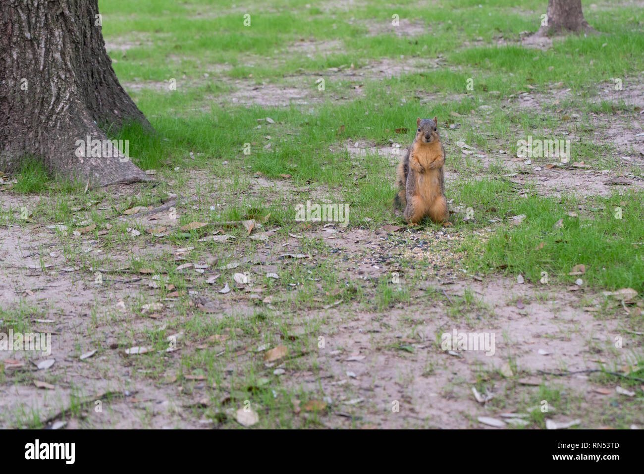 Small Squirel Standing on Two Feet and Looking Towards the Camera Stock Photo