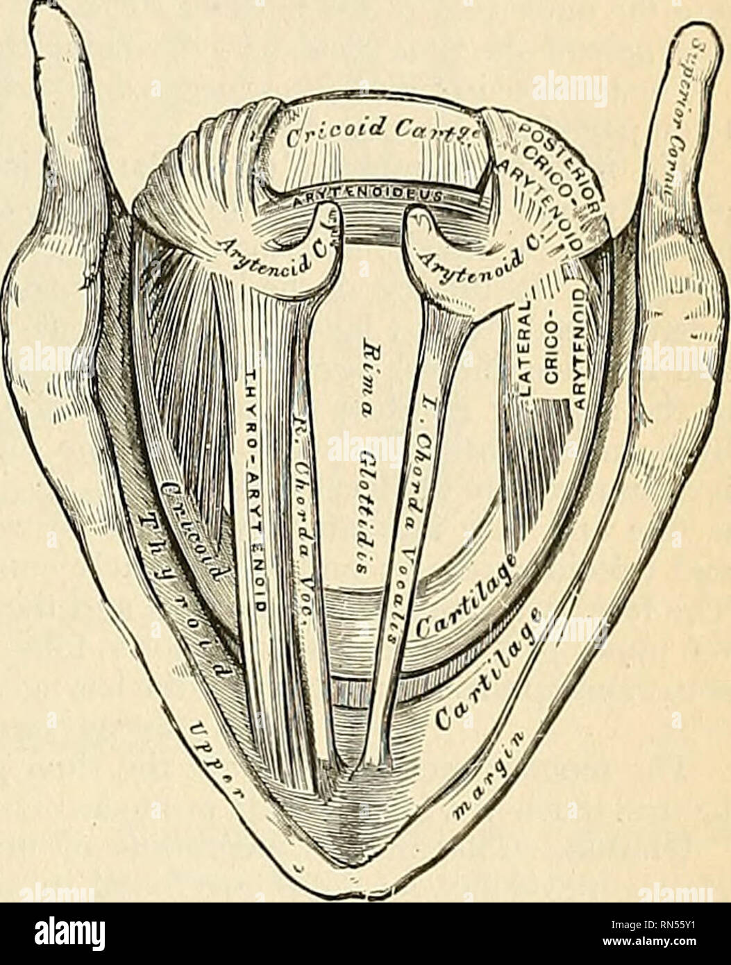 Anatomy Descriptive And Applied Anatomy Articular Facet For