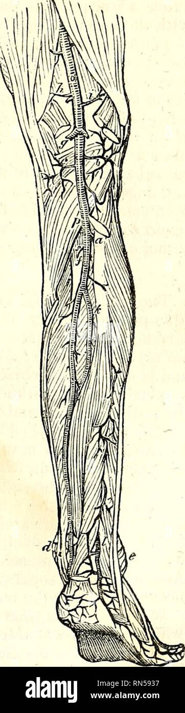 . The anatomy of the human body. Human anatomy; Anatomy. THE TIBIO-PERONEAL ARTERY. 569 proportion to that of the external malleolar and metatarsal arteries. I have seen it as large as the dorsal artery of the foot, by the bifurcation of which vessel it appeared to be formed. It passes transversely outward under the extensor brevis digitornm, anastomoses freely with the external malleolar artery, and gives off the following branches : some which ramify upon the outer side of the os calcis, and anastomose with the peroneal; a branch which runs upon the cuboid bone, sometimes being so large as t - Stock Image