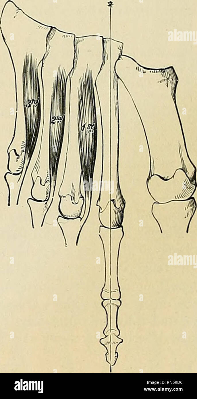 . Anatomy, descriptive and applied. Anatomy. Fig. 399.—The Dorsal interossei. Left foot. The line marked by an * is that from which abduction is performed. Fig. 400.—The Plantar interossei. Left foot. The line marked by an * is that to which adduction is made. same toe outward; the third draws the third toe, and the fourth draws the fourth toe, in the same direction. Like the Interossei in the hand, they also help to flex the proximal phalanges and to extend the two terminal phalanges. The Abductor hallucis abducts the great toe from the others, and also flexes the proximal phalanx of this toe - Stock Image