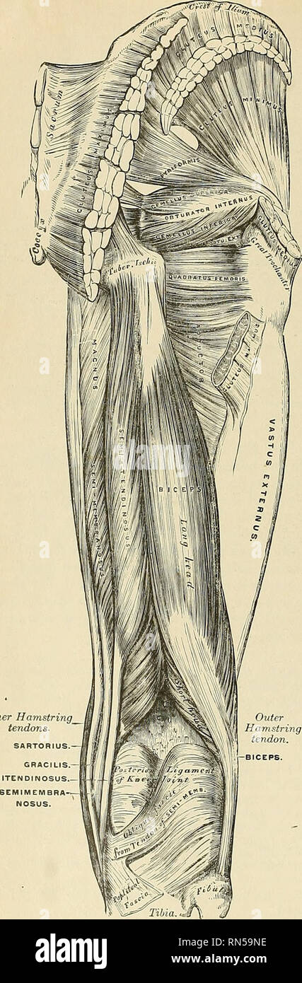 Anatomy Descriptive And Applied Anatomy 518 The Mvscles And