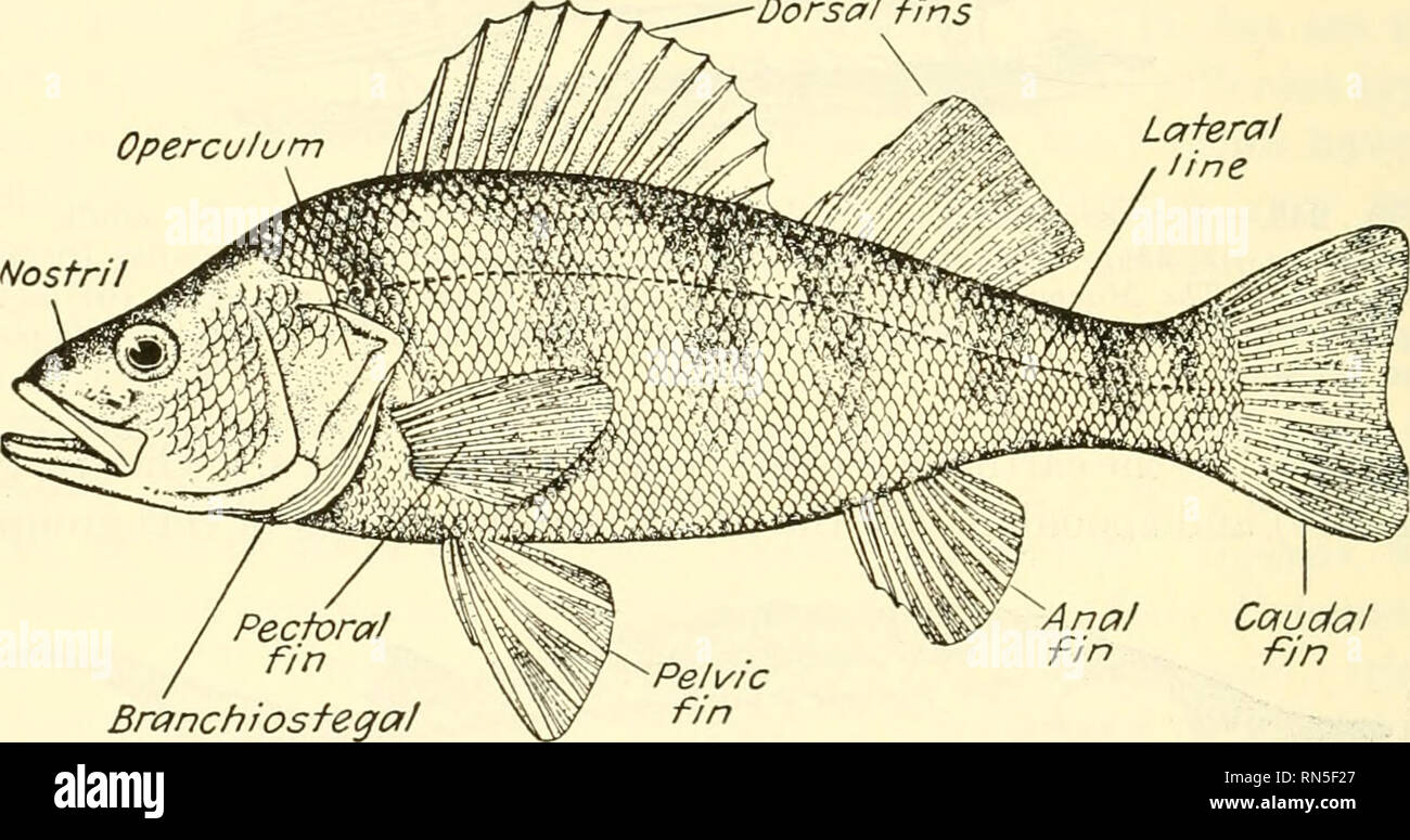 . Animal biology. Zoology; Biology. 352 METAZOAN PHYLA ganoid or an amphibian than Hke that of a bony fish. Gars use the air bladder as an accessory lung. 373. Teleostei.—The teleosts are a large and relatively modern group, presenting now a variety and a number of species greater than at any previous time. In this division come the most of our food fishes (Fig. 248). 374. Dipnoi.—The lungfishes have for a long time been noteworthy among fishes because of the belief that they represented the forms from which amphibians and higher vertebrates arose. More recent investigations, however, seem to  - Stock Image