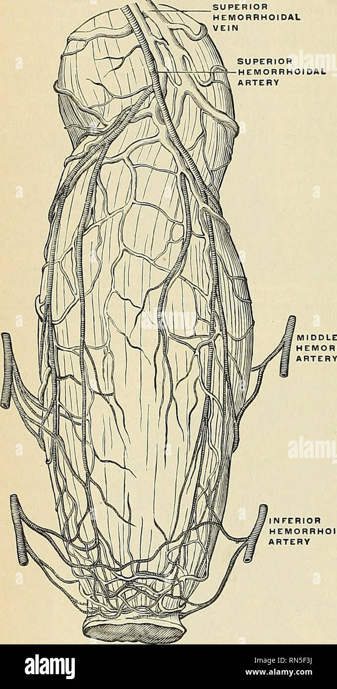 Anatomy Descriptive And Applied Anatomy 1312 The Organs Of