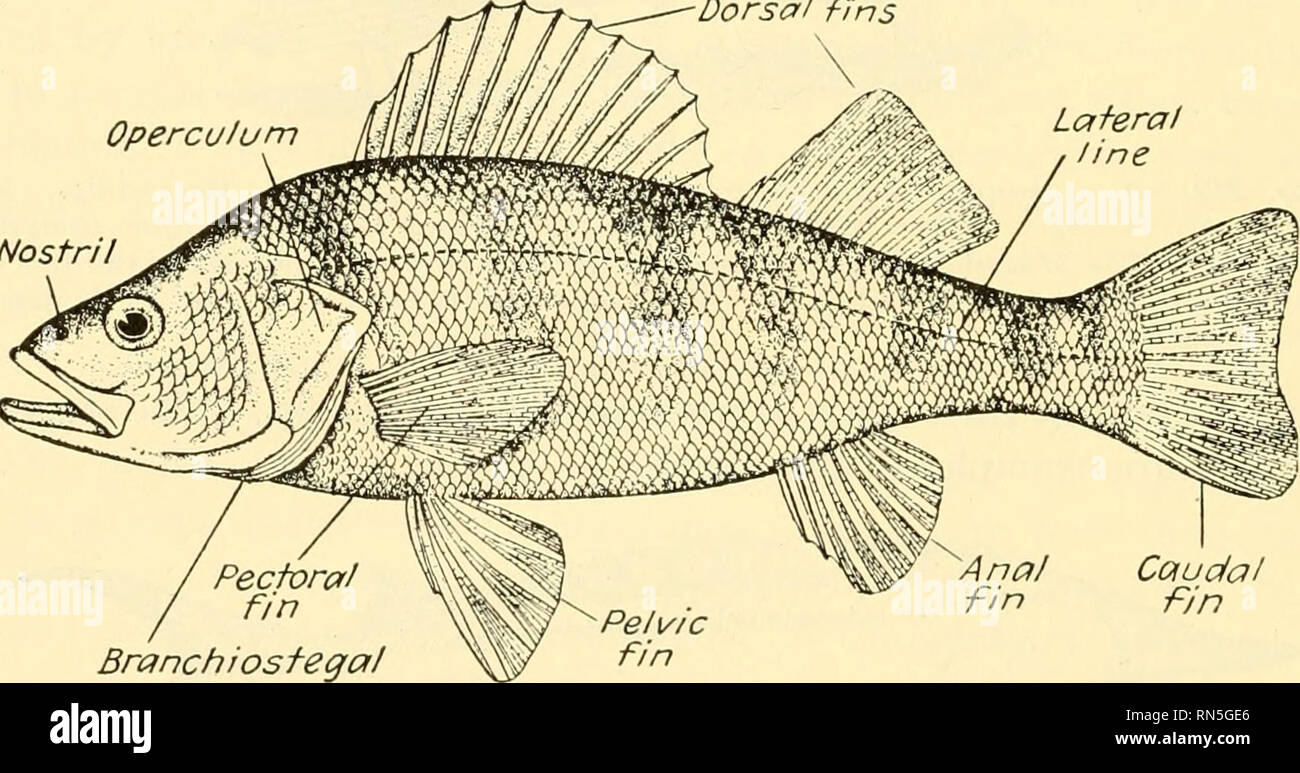. Animal biology. Zoology; Biology. 346 METAZOAN PHYLA like that of a lobe-finned ganoid or an amphibian than like that of a bony fish. 371. Teleostei.—The teleosts are a large and relatively modern group, presenting now a variety and a number of species greater than at any previous time. In this division come the most of our food fishes (Fig. 235). 372. Dipnoi.—The lungfishes have for a long time been noteworthy among fishes because of the belief that they represented the forms from which amphibians and higher vertebrates arose. More recent investigations, however, seem to throw doubt upon th - Stock Image