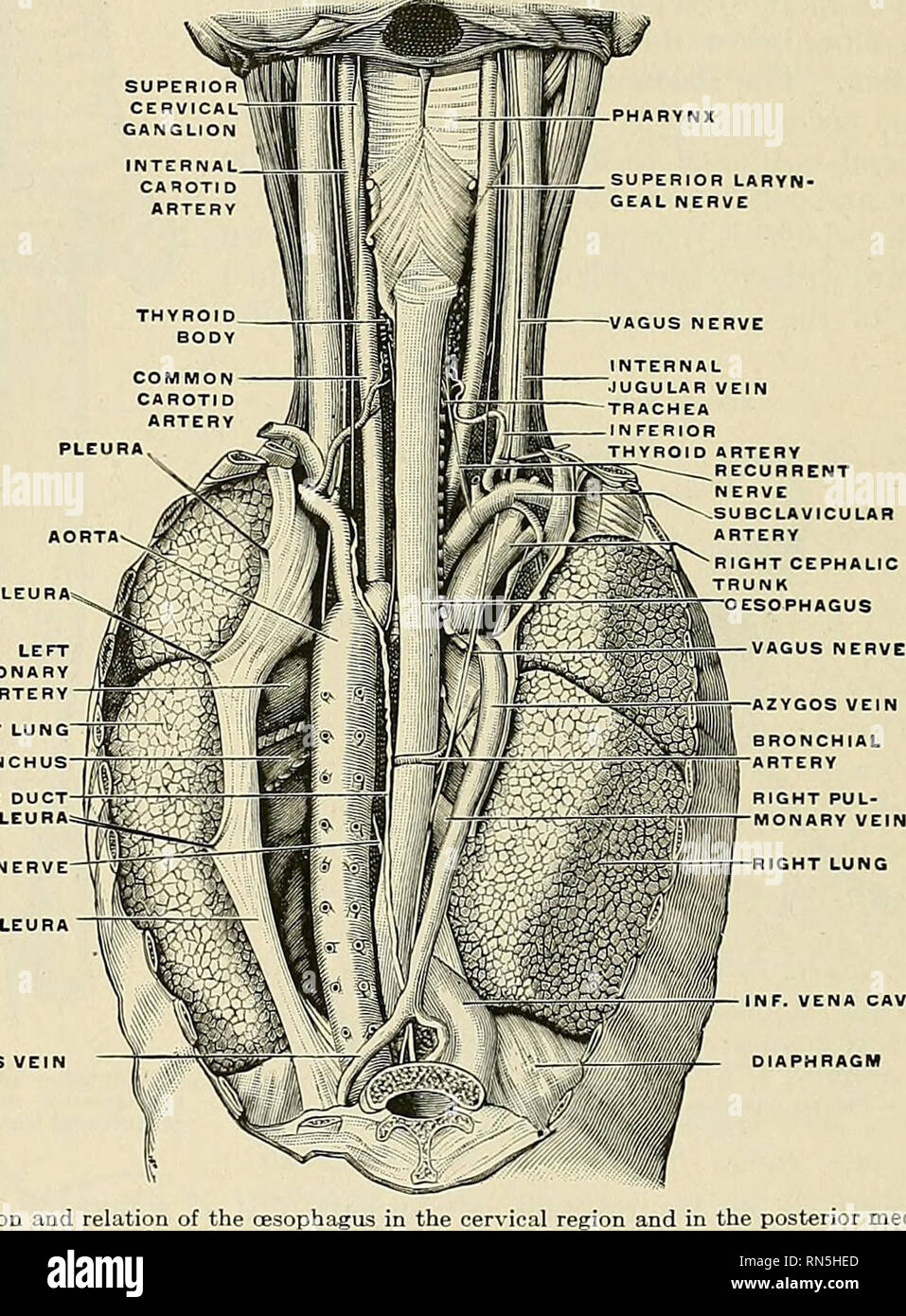 Anatomy Descriptive And Applied Anatomy 1238 The Organs Of