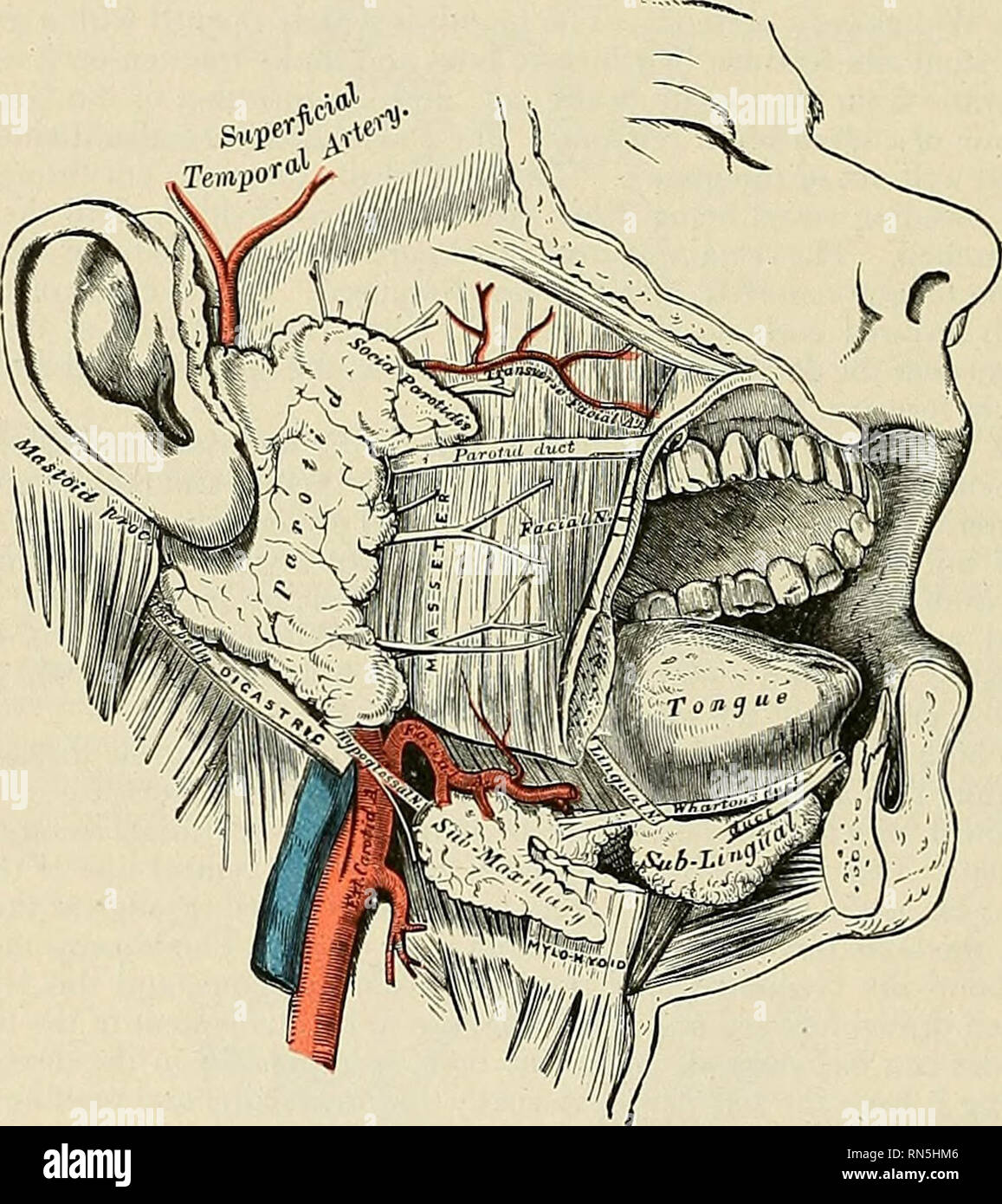 . Anatomy, descriptive and applied. Anatomy. 1224 THE ORGANS OF DIGESTION toid process to the angle of the mandible. The remainder of the gland is wedge- shaped, and extends deeply inward toward the pharyngeal wall. The gland is enclosed within a capsule continuous with the deep cervical fascia; the layer covering the outer surface is dense and closely adherent to the gland; a portion of the fascia, attached to the styloid process and the angle of the mandible, is thickened to form the stylomandibular ligament which intervenes between the parotid and submaxillary glands. The anterior surface o - Stock Image