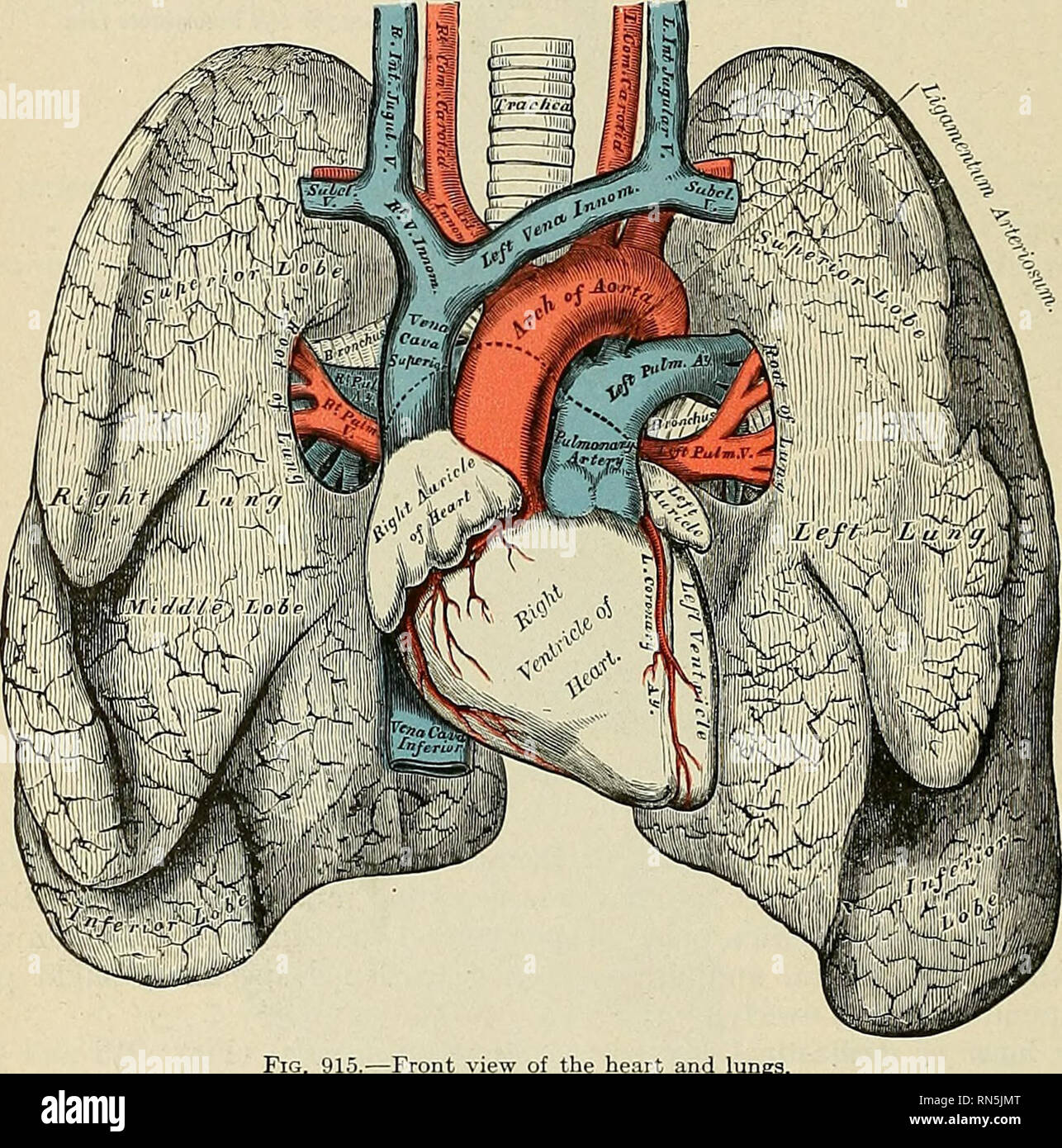 Anatomy Descriptive And Applied Anatomy 1190 The Organs Of Voice
