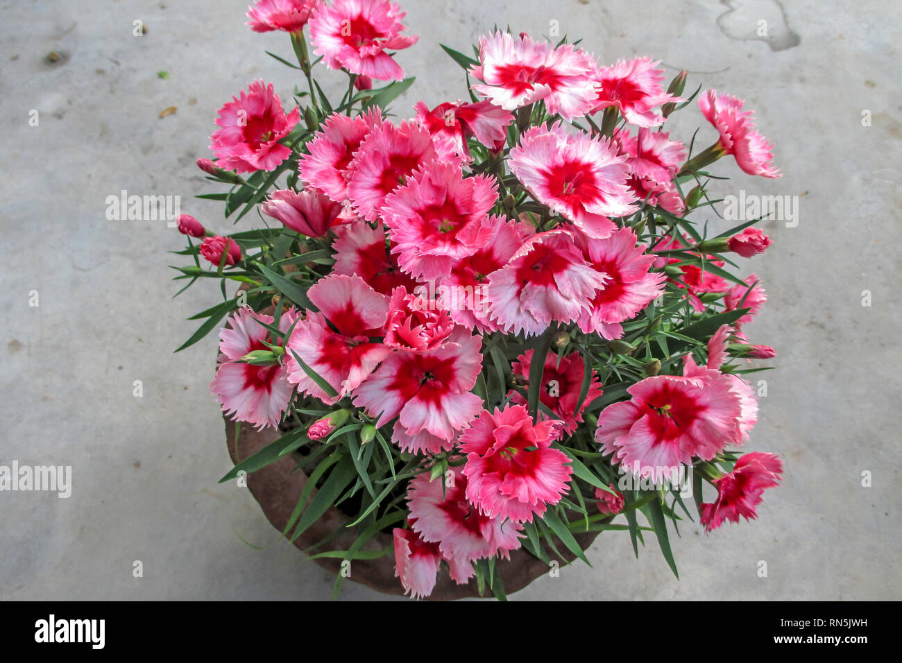 Beautiful Sweet William Dianthus Flowers In A Clay Pot. - Stock Image