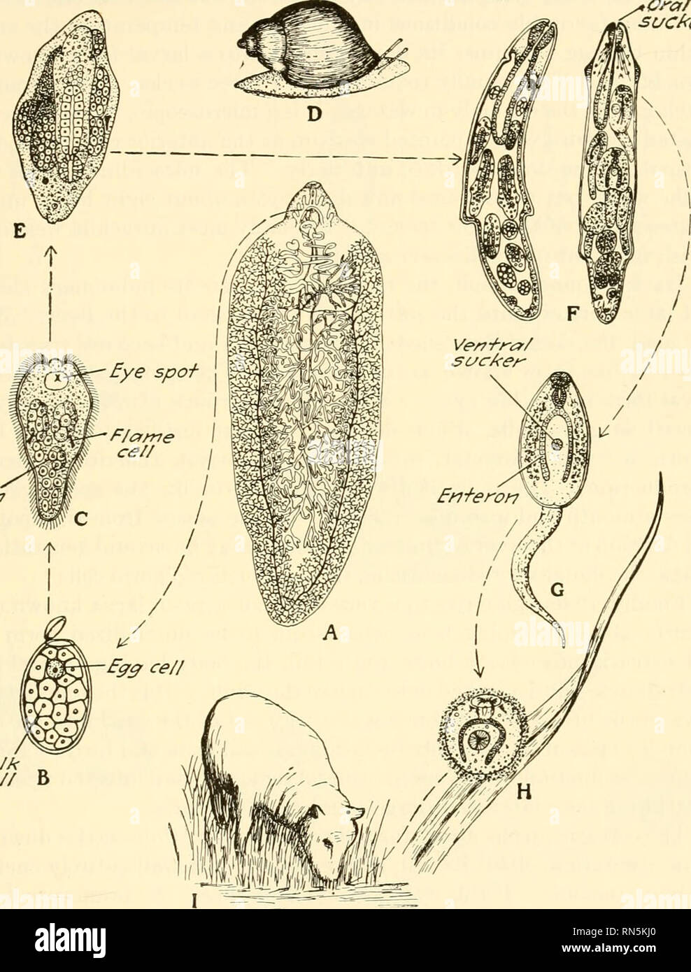 https://www alamy com/animal-biology-zoology-biology-parasitism-173-202-life-history-of-the-sheep-liver-flukethe-egg-cell-is-produced-in-the-ovary-of-the-fluke-and-is-passed-into-the-oviduct-where-it-is-fertilized-ora-cezs-yok-ltre-b-fig-85diagram-of-the-life-history-of-a-sheep-liver-fluke-a-the-adult-fluke-fasciola-hepatica-in-bile-duct-of-sheep-b-egg-much-enlarged-hatches-in-water-c-the-mira-cidium-enlarged-free-swimming-d-lymnaea-galba-bulimoides-a-snail-the-inter-mediate-host-e-the-sporocyst-containing-developing-rediae-in-liver-of-the-snail-c-and-e-from-leuckart-image236767720 html