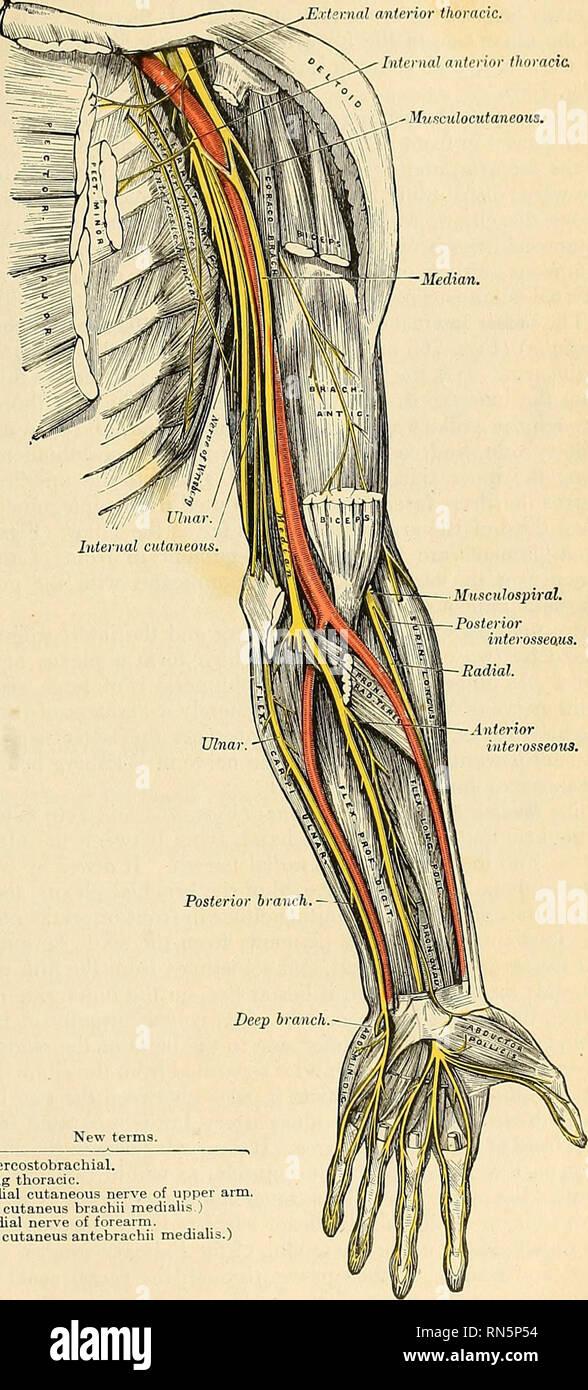 Anatomy Descriptive And Applied Anatomy The Brachial Flexu8 1033