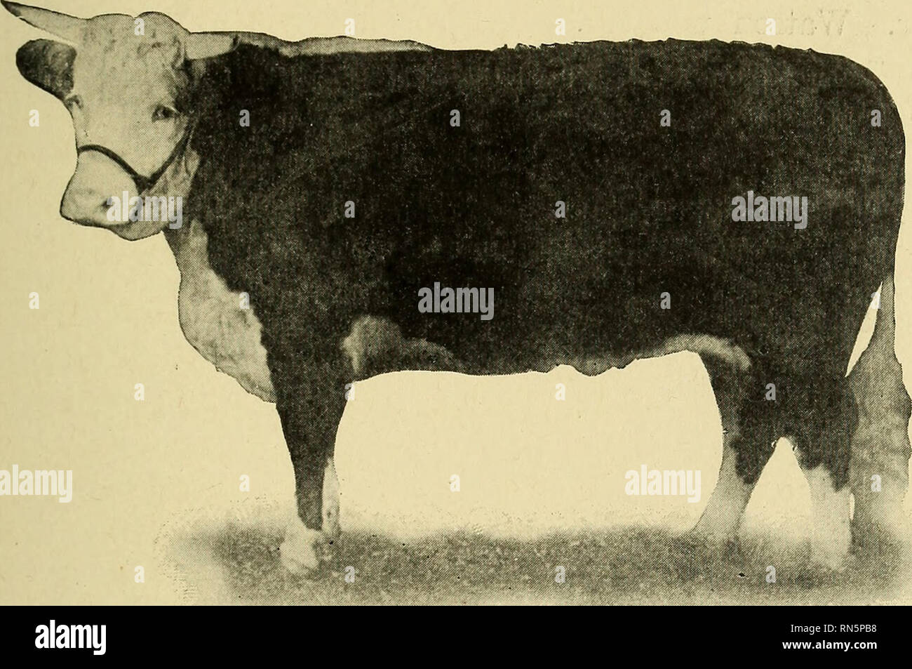 Animal Husbandry For Schools Livestock Breeds Of Cattle
