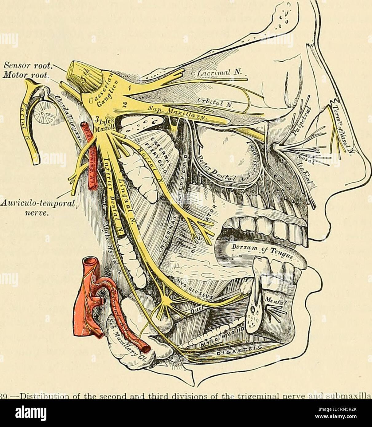 Anatomy Descriptive And Applied Anatomy The Fifth Trigeminal Ob