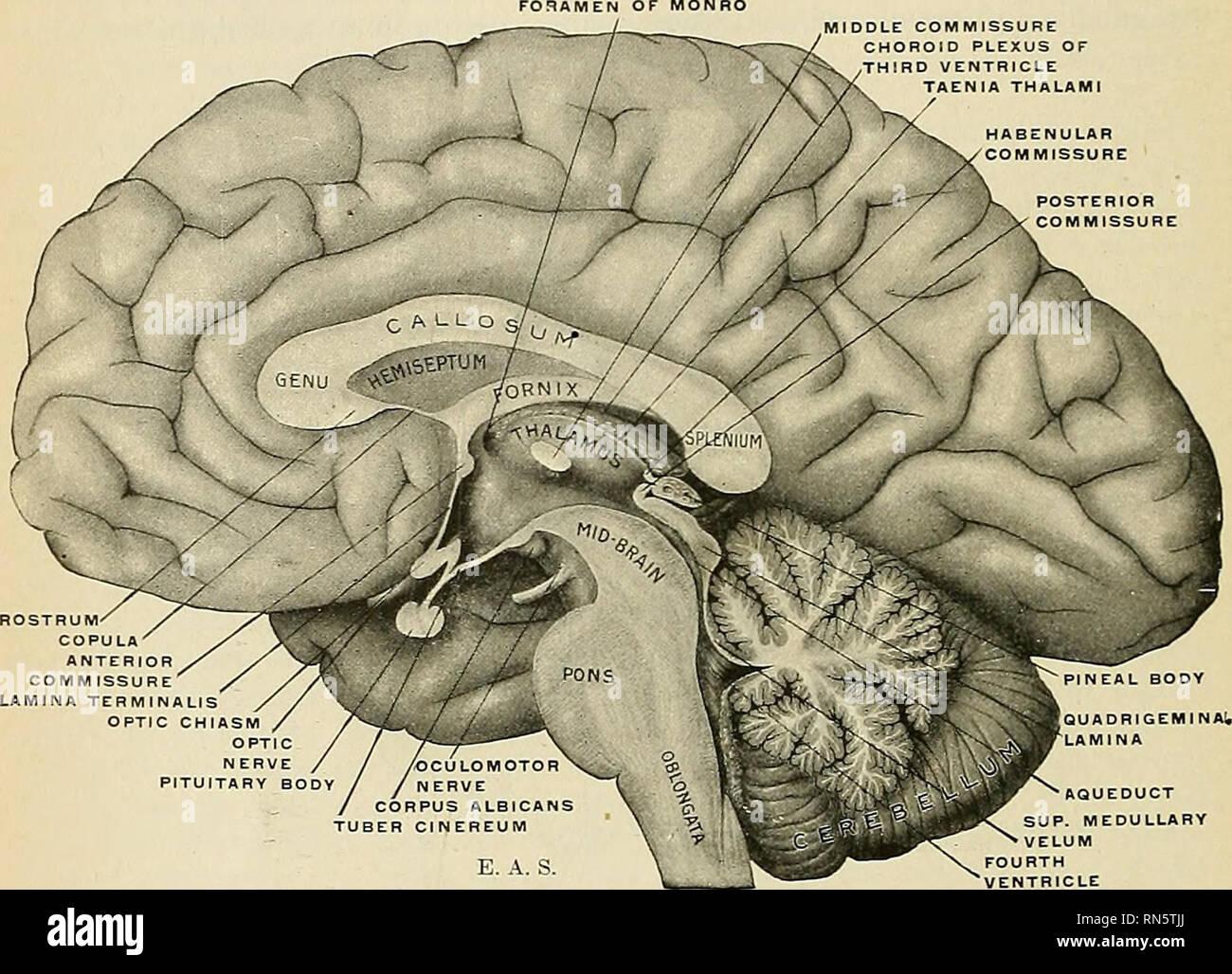 Anatomy Descriptive And Applied Anatomy 912 The Nebve Systesr The